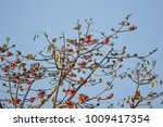 leaf of bombax ceiba tree with... | Shutterstock . vector #1009417354