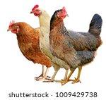 brown hen isolated on white... | Shutterstock . vector #1009429738