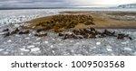 walrus is a terrible animal... | Shutterstock . vector #1009503568