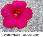 bright pink large flower of... | Shutterstock . vector #1009517884