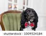 Small photo of Dog spaniel in a red bow tie in the interior of the light room. Pet is three years old sitting on a chair. Red checkered necktie. best and faithful friend