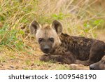 Small photo of Hyena pup- all ears.