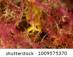 Small photo of Golden damselfish, Amblyglyphidodon aureus