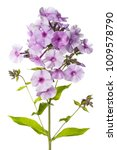 flowers of lilac phlox with... | Shutterstock . vector #1009578790