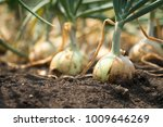 the onion is grown on the soil...