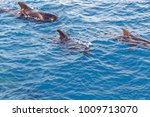 short finned pilot whales and... | Shutterstock . vector #1009713070