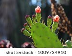 prickly pear flower buds ...   Shutterstock . vector #1009734910