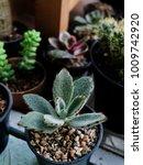 Small photo of Succulent, Kalanchoe tomentosa, succulent on pot, cactus, cacti, cactaceae, plant, background