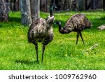 Emu  The Large Flightless...
