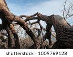 huge old cottonwood tree in... | Shutterstock . vector #1009769128
