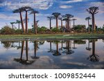 beautiful baobab trees at... | Shutterstock . vector #1009852444