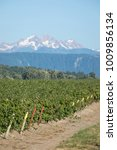 Small photo of Side view on rows of organic raspberry bushes beside a dirt access road, with a snow capped mountain in the distance