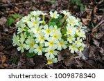 Bunch Of Primroses  Primula Sp.