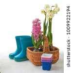 pink hyacinth  and white double ... | Shutterstock . vector #1009922194