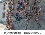 dry vine grapes on ancient... | Shutterstock . vector #1009995970