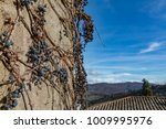 dry vine grapes on ancient... | Shutterstock . vector #1009995976