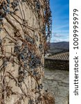 dry vine grapes on ancient... | Shutterstock . vector #1009995979