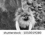 the wear  aggressive spitz dog... | Shutterstock . vector #1010019280
