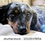 silver dapple dachshund long... | Shutterstock . vector #1010019856