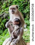 a mama monkey holding her baby...   Shutterstock . vector #1010060938