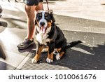 Stock photo funny happy australian shepherd dog new york city midtown manhattan nyc closeup with calico 1010061676