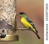 Small photo of Lesser Goldfinch (male)