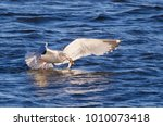 Small photo of American Herring Gull (Larus argentatus) snappig fish, Mississippi river