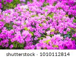 blur pink bougainvillea on... | Shutterstock . vector #1010112814