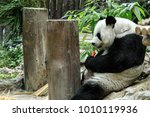Giant Panda Eating Carrot In...