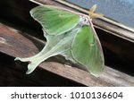 Green Luna Moth On Window