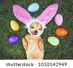 Stock photo authentic photo of a cute chihuahua with rabbit ears on and his tongue out surrounded by easter 1010142949
