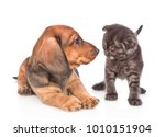 puppy and kitten look at each other.  isolated on white background