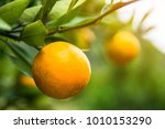 branch orange tree fruits green ... | Shutterstock . vector #1010153290
