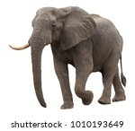 african elephant isolated on... | Shutterstock . vector #1010193649