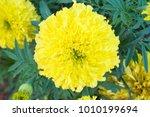 beautiful marigold yellow... | Shutterstock . vector #1010199694