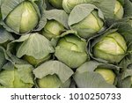 Cabbage Background. Fresh...