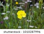 Yellow Flower Oenothera Bienni...