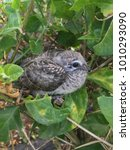 Small photo of Young bird flapper in nest on jasmine tree in nature