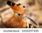 nice detail of african hoopoe ...   Shutterstock . vector #1010297350