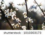 fruit tree blossoms. spring... | Shutterstock . vector #1010303173
