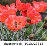 bunch of artificial red poppy... | Shutterstock . vector #1010323918