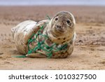 an atlantic grey seal ... | Shutterstock . vector #1010327500