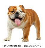 English Bulldog Isolated On A...