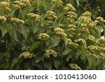 View Of White Flower Cluster Of ...
