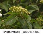 Japanese Raisin Flower Cluster...