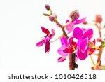 nice purple mini phalaenopsis... | Shutterstock . vector #1010426518
