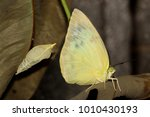 Small photo of A Common Emigrant or Lemon Emigrant butterfly, Catopsilia pomona, after eclosion, with the pupal case in which it emerged in the background.