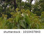 Flower Buds And Leaves Of...