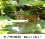 scandinavian lynx  lynx lynx...   Shutterstock . vector #1010443114