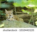 scandinavian lynx  lynx lynx...   Shutterstock . vector #1010443120